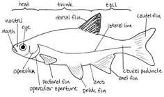 ساختمان بدن ماهی رودخانه ای