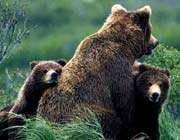ayı yavrularının güreşi