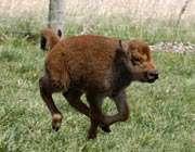 rubbing the buffalo baby