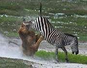 zebra, aslanın elinden böyle kurtuldu