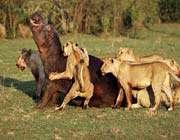 aslanlar su aygırı avında