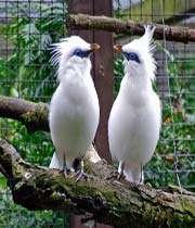 طائر الزرزور الأبيض