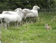 kendini çoban köpeği sanan tavşan