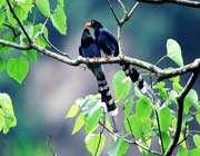 العقعق التايواني الأزرق