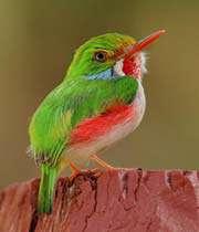 طيور التودي