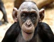 bald-monkey