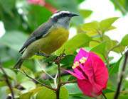 طائر البناناكويت