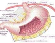 защищая свой желудок