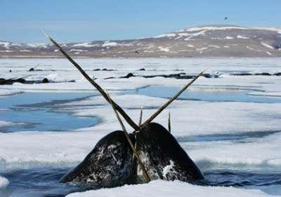 تک شاخ قطب شمال