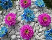 blue-and-purple-dahlia