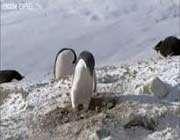 криминальные пингвины