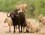 aslanların buffalo avı
