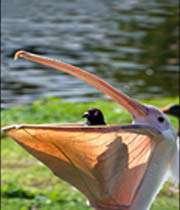 güvercin yiyen pelikan