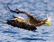 un grand aigle