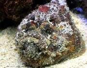 السمك الحجرى stone fish
