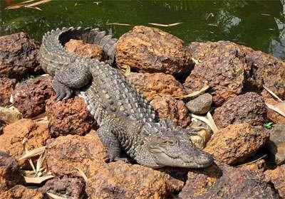 تمساح ایرانی