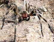 العنكبوت البرازيلى الجوال