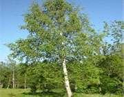 درخت غان