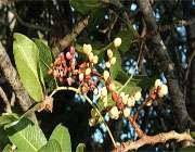 терпентинновое дерево