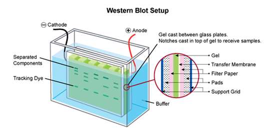 Cell Signaling , scientists ,western-blotting-protocol