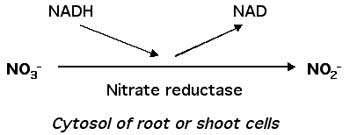 اسیمیلاسیون نیترات 2