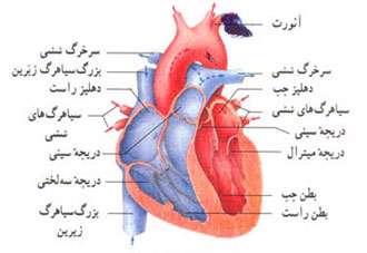 نتیجه تصویری برای دستگاه گردش خون شامل چه چیزهایی است