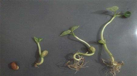 تأثیر آب مغناطیسی بر رشد گیاهچه لوبیا