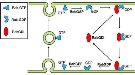 ورود پروتئین ها به غشا (2)