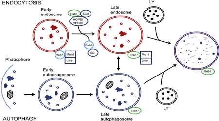 آندوسیتوز به واسطه گیرنده (2)