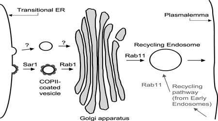 انتقال وزیکولی (بخش دوم)