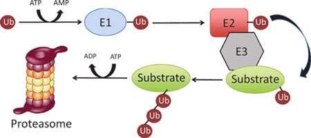 تجزیه پروتئین ها (2)