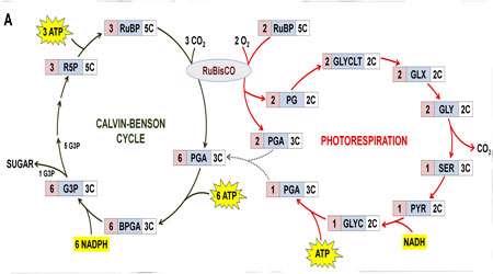 سازگاری و کاهش تنفس نوری