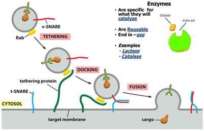 پروتئین های انتقال غشایی (1)