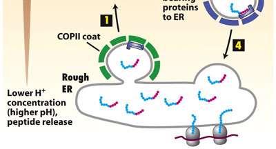 پروتئین ها در مسیر ترشحی (3)