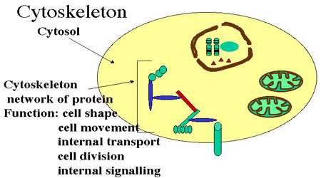 اسکلت سلولی (ریز لوله چه ها)