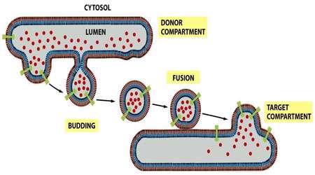 پروتئین ها در مسیر ترشحی (1)