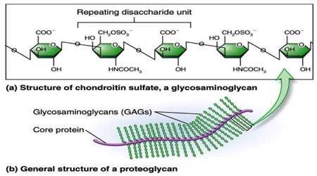 گلیکوز آمینوگلیکان ها (بخش اول)