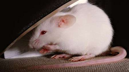 تاثیر گیاه رزماری بر روی افسردگی و درمان موش های سوری