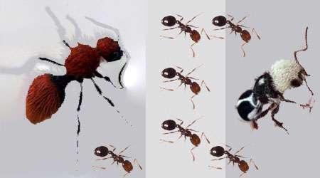 مورچه یا پاندا