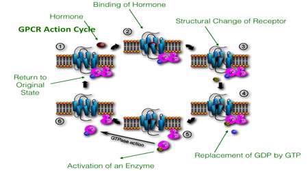 پیام رسانی g پروتئینی (بخش دوم)