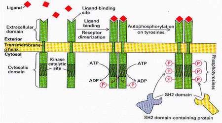 پروتئین کینازهای گیرنده (بخش اول)