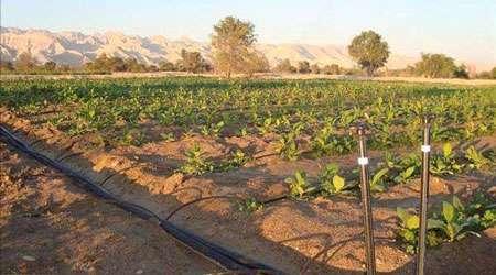 آبیاری قطره ای تحتانی گیاهان زراعی با استفاده از آب باران