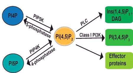پیام رسانی g پروتئینی (بخش سوم)