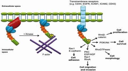 پروتئین کینازهای گیرنده (بخش دوم)