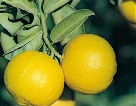 ما هي فوائد الليمون الحلو؟