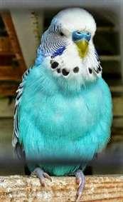 طوطی زیبا