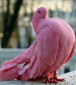 کبوتر زیبا