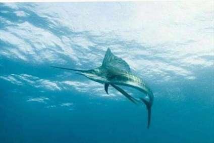 شمشیر ماهی