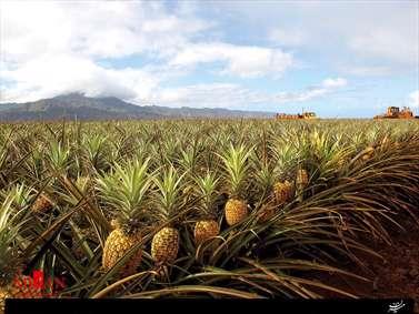مزرعه آناناس