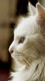 گربه سفید